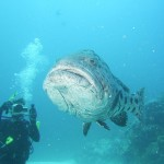 Rowley Shoals diver and fish